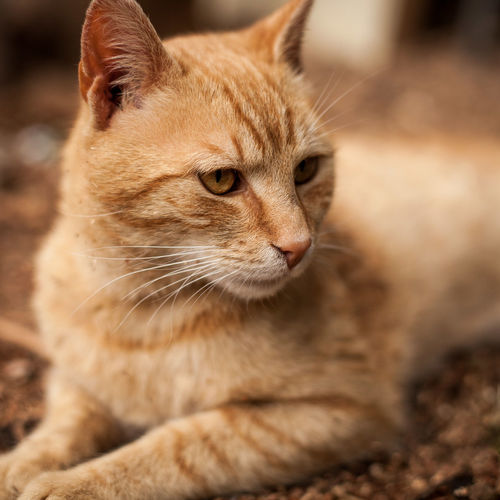Animal Themes Mammal Domestic One Animal Animal Cat Feline Pets Domestic Animals Domestic Cat Close-up Whisker Vertebrate Animal Body Part No People Looking Looking Away Day Selective Focus Animal Head  Ginger Cat Tabby Animal Eye
