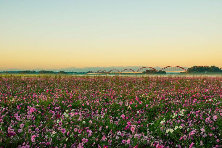 秋桜 Sky Beauty