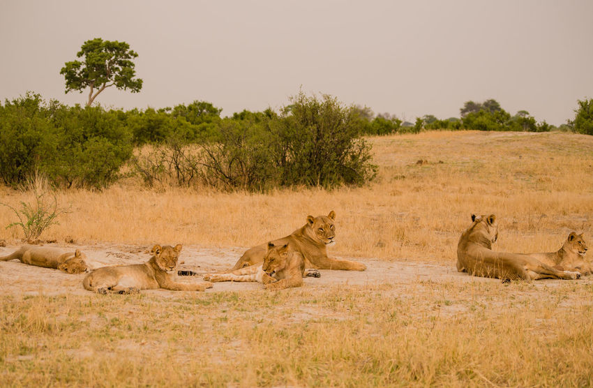 Lionesses group in the savanna of in Zimbabwe, South Africa Big Cats Cat Of Prey Charara Safari Area Lake Kariba Lion National Park Nature Savannah South Africa Wildlife Refuge Zimbabwe Africa Animal Animal Themes Kariba Landscape Lion Female Lioness Lionesses Mammal Mane Pack Safari Wildlife