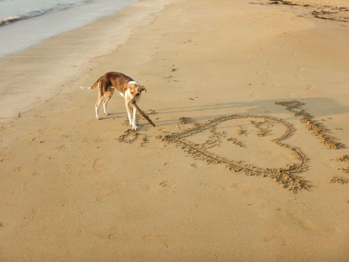 Dog carrying stick in mouth while standing by heart shape on sand