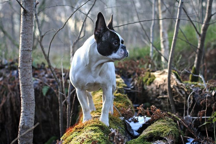 Bullies Dogs Dogs In Action Französische Bulldogge  Frenchbulldog Frenchie Hunde Outdoors Pet Portraits