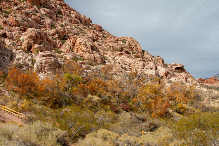 Rock formations in sunlight, orange autumn cottonwood trees. red rock canyon, nevada