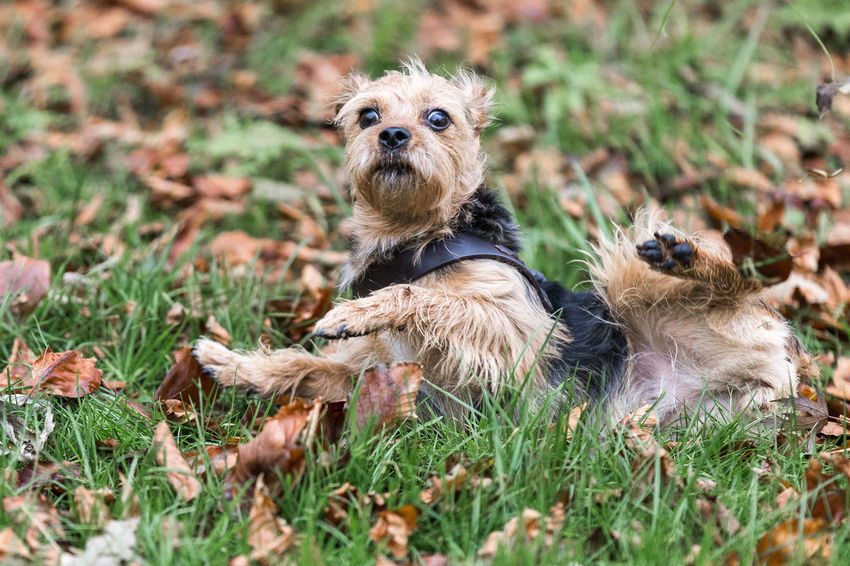 Animal Themes Day Dog Domestic Animals Grass Mammal Nature No People Outdoors Pets Portrait