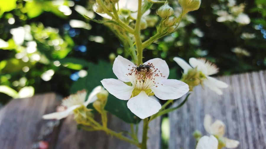Capturing Movement Flower Collection Insect On White Flower Flying Bugs Insects Eating Nature_collection Souh Salem From My Doorstep