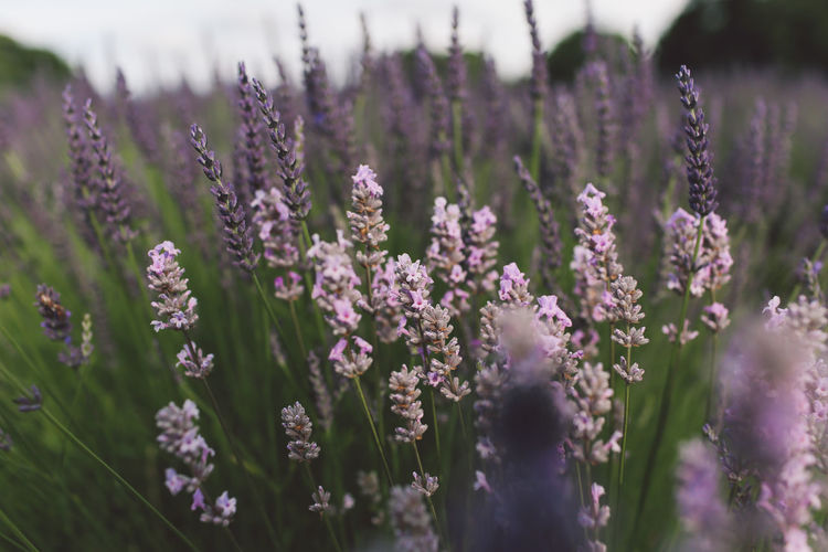 Close-Up Of Lavender Flowers Blooming At Farm