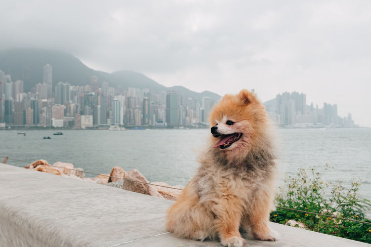 Pomeranian dog portrait One Animal Mammal Pets Domestic Domestic Animals Pomeranian Dog Canine Purebred Breed Portrait Pom Architecture Animal Animal Themes City Building Exterior No People Water Day Cityscape Outdoors Mouth Open Sitting