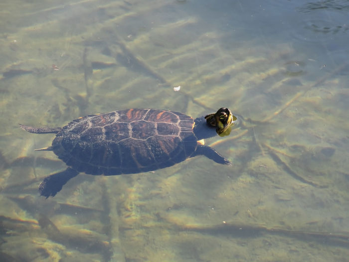 Floating turtle swimming in a pond Animal Aquatic Floating Green HEAD Headshot Horizontal Lake Omnivore Outdoors Peace Pet Pond Recreational Pursuit Reflection Relax Repose Reptile Swimming Tortoise Turtle Water Wellness Wet Wild