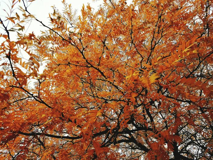 Leaves of Fire Tree Branch Close-up Beauty In Nature Outdoor Photography Fall Autumn Yellow Leaves Leaves Autumn Mood