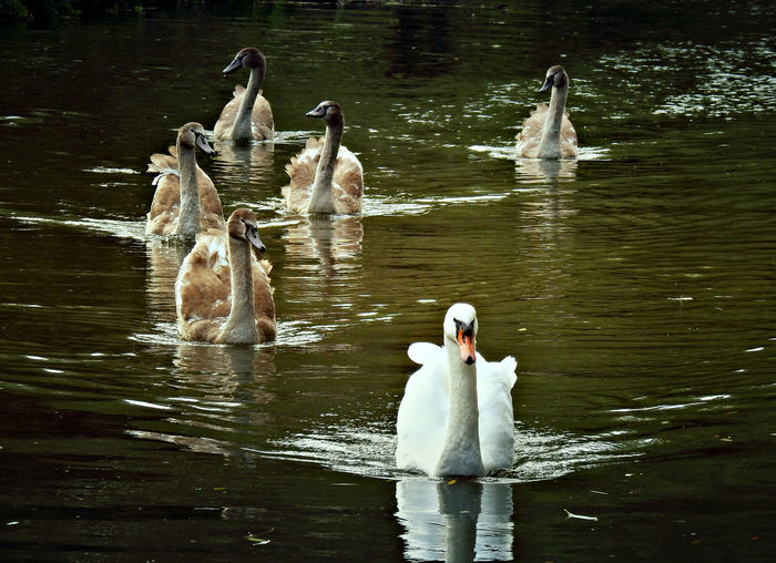 Swan with