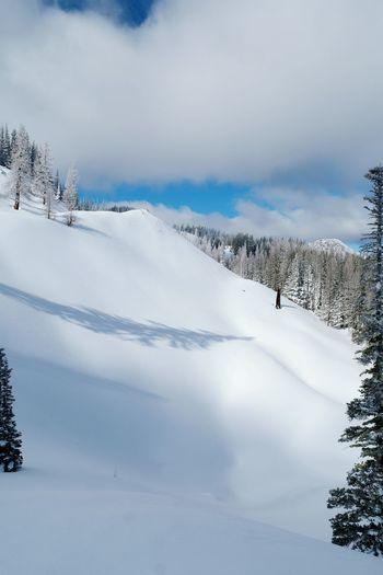 Snow Pinaceae