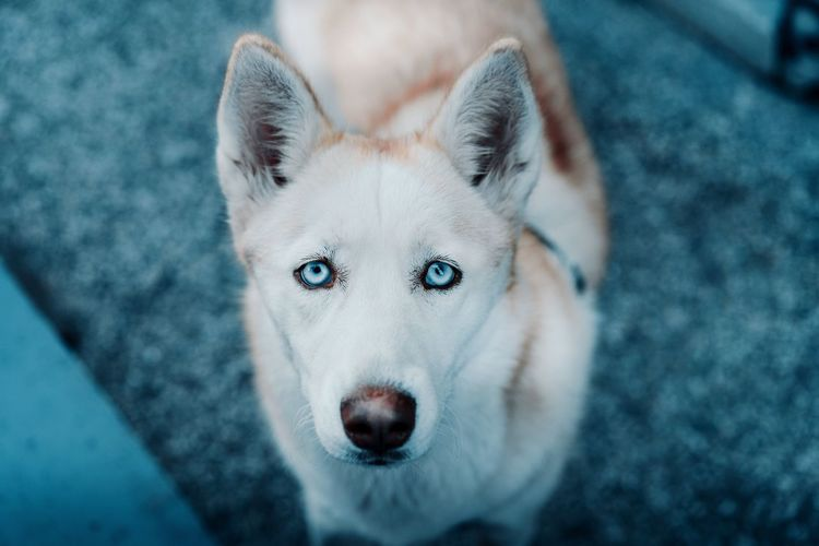 Born in winter, just like me. Looking At Camera Animal Dog Pets Eye Portrait One Animal Mammal Animal Themes Close-up Blue Fresh On Market 2017 The Still Life Photographer - 2018 EyeEm Awards