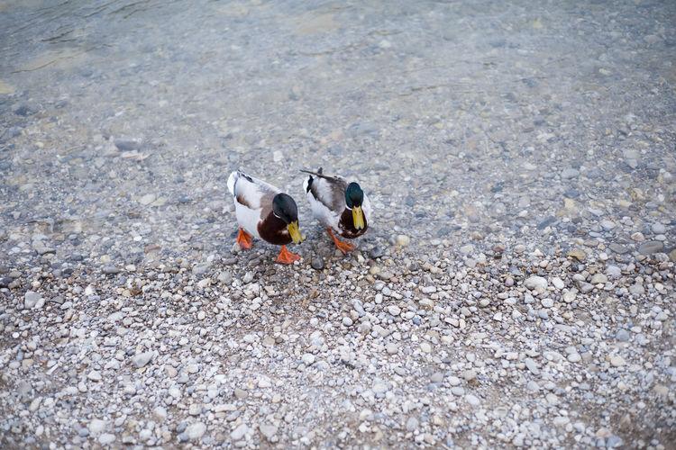 High angle view of ducks at lakeshore