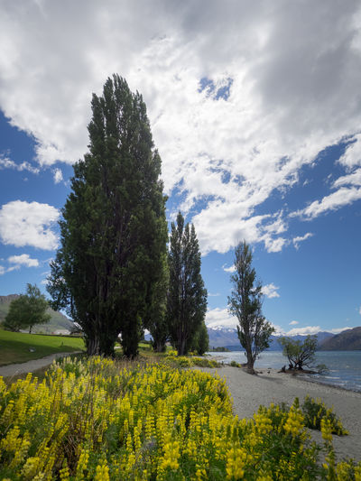 Camping Discover Your City Nature New Zealand Beauty New Zealand Landscape Wanaka Agriculture Attraction Beauty In Nature Cloud - Sky Day Discovery Field Growth Lake Lakeshore Landscape Nature New Zealand No People Outdoors Plant Scenics Sky Tourism Tourist Destination Tranquil Scene Tranquility Tree Wanakalake Yellow