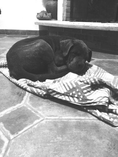 Morganella tutta bella e i suoi sonnellini... Cane Corso Cucciola  Puppy 3mesi
