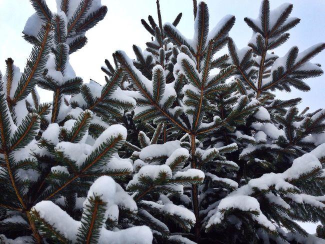 Snow Pine Tree Cold