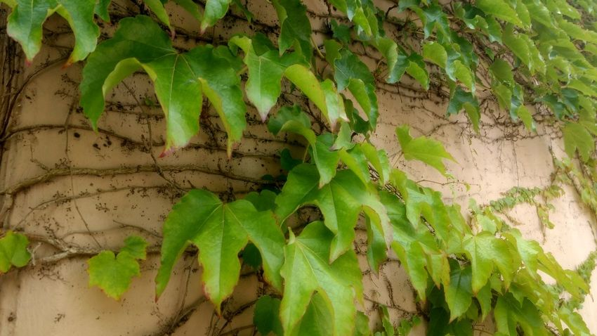 Leaves Nature Natural Beauty Natures Beauty EyeEm Best Shots EyeEm Selects Light Vines Grape Grapes Grape Vine Leaf Close-up Animal Themes Plant Green Color Vineyard Vine Vine - Plant Winemaking Red Grape Ivy Vintner Winery Wisteria Tendril