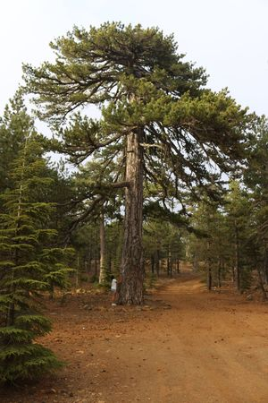Pine Tree Big Tree 500 Years Old Nature Sky Rocks Road Nature Path Troodos Tree Forest One Person Cyprus Nature Photography Naturelovers Nature Beauty Nature_collection Natural Beauty Wild Plant Green Color Forest Trees Forest Photography Forestwalk Nature_ Collection  Naturelover