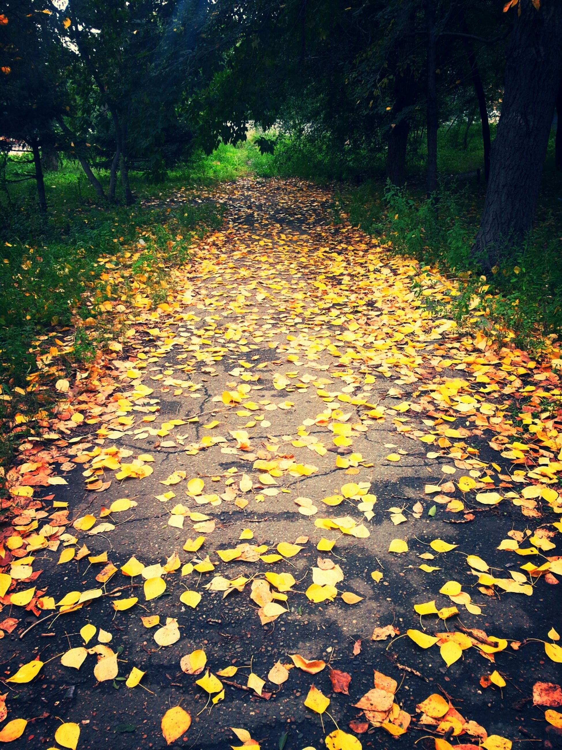 autumn, change, tree, leaf, season, the way forward, yellow, fallen, nature, road, transportation, leaves, tranquility, dry, street, asphalt, growth, beauty in nature, diminishing perspective, outdoors