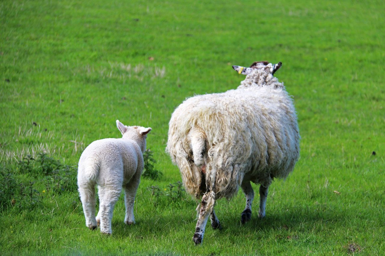 Sheep With Lamb Walking On Field
