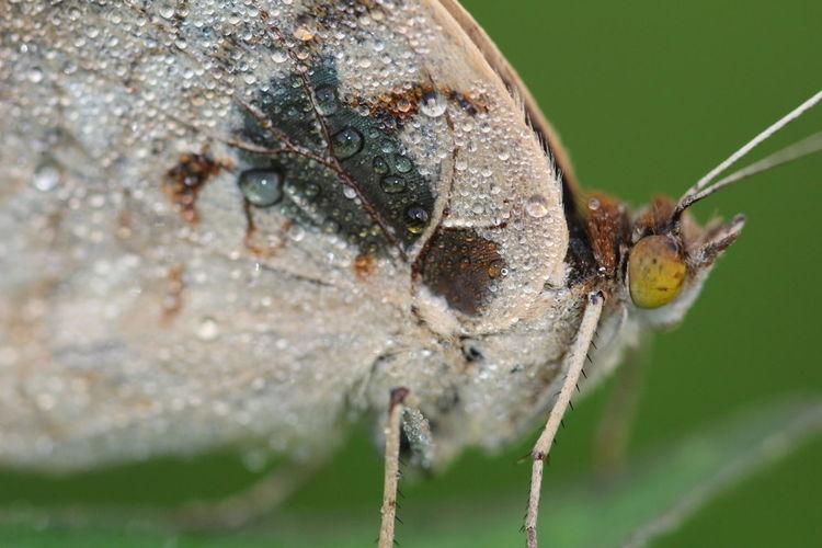 wings Butterfly