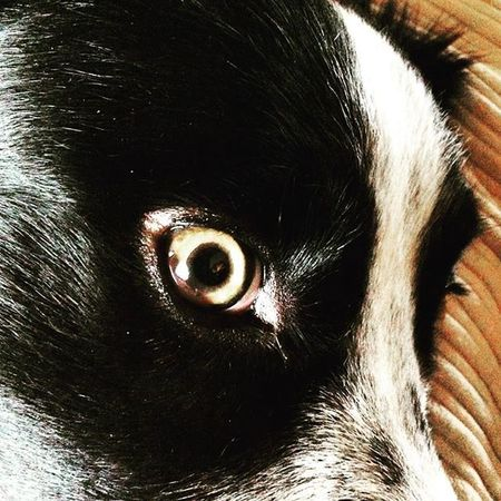 Te veo. Bordercollie  Eye Dog Eyes Dog Eye Dog Dog Love Dog❤ DogLove Dogs