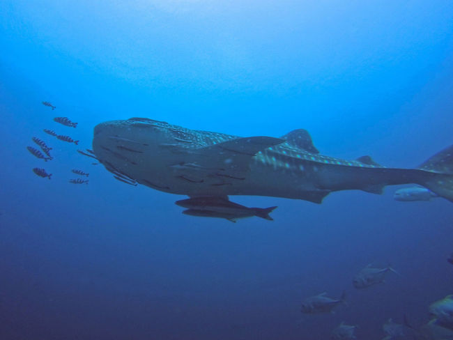 Animal Photography Animals In The Wild ASIA Beauty In Nature Big Fish EyeEm Nature Lover Ocean RichelieuRock Scuba Diving Southeast Asia Southeastasia Thailand Underwater Underwater Photography Underwaterlife Underwaterphotography Whale Shark Whaleshark Whalesharks