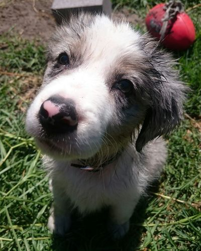 Mum made me take a shower. I was not impressed lol 😒Puppy❤ Puppy Love ❤ Dog Outdoors Close-up Domestic Animals Pets Border Collie Mix Cutie♥ Australian 🗺 Dogs Life Puppywash