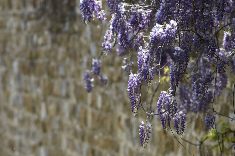 Close-up of lavender hanging on plant