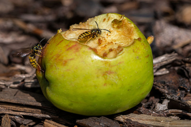 Close-up of apple on tree in field
