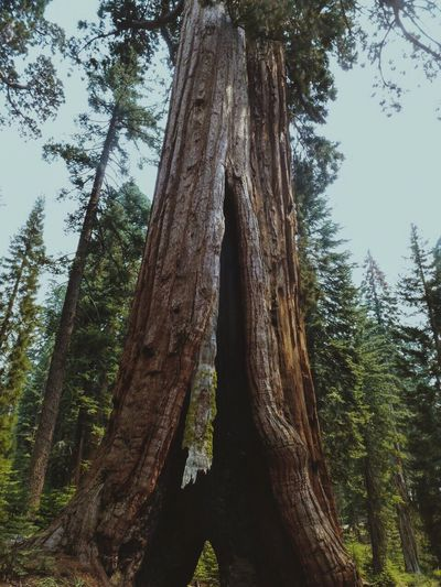 Tree Nature Forest Tranquility Low Angle View Outdoors Yosemite National Park Yosemite Scenics Tall Giant Life KINGDOM Gap Green Mould Explore Walk Wonder Goals Dreams Base
