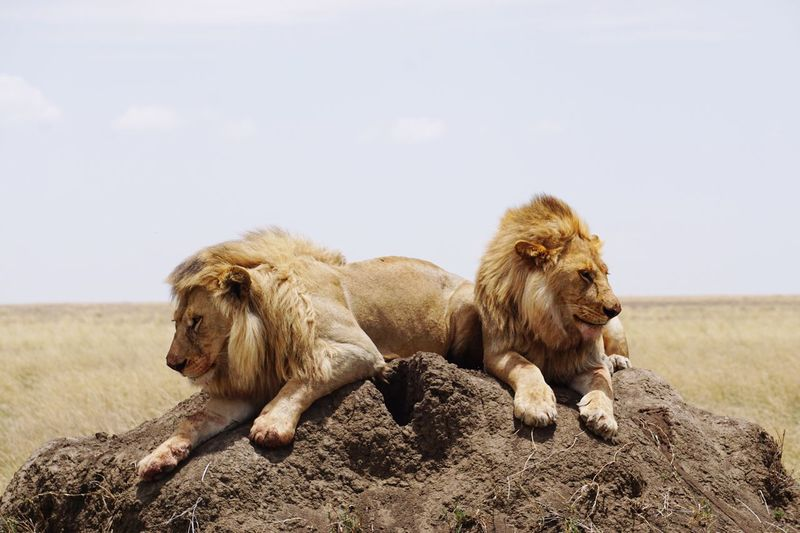 Lions Relaxing On Sand Against Sky