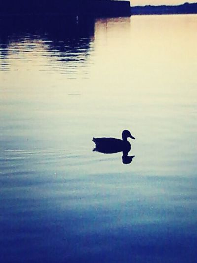 A Duck Water - Collection EyeEm Nature Lover Nature_collection #eyeemnaturelover #nature