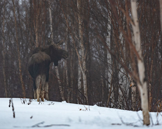 Moose standing at forest during winter