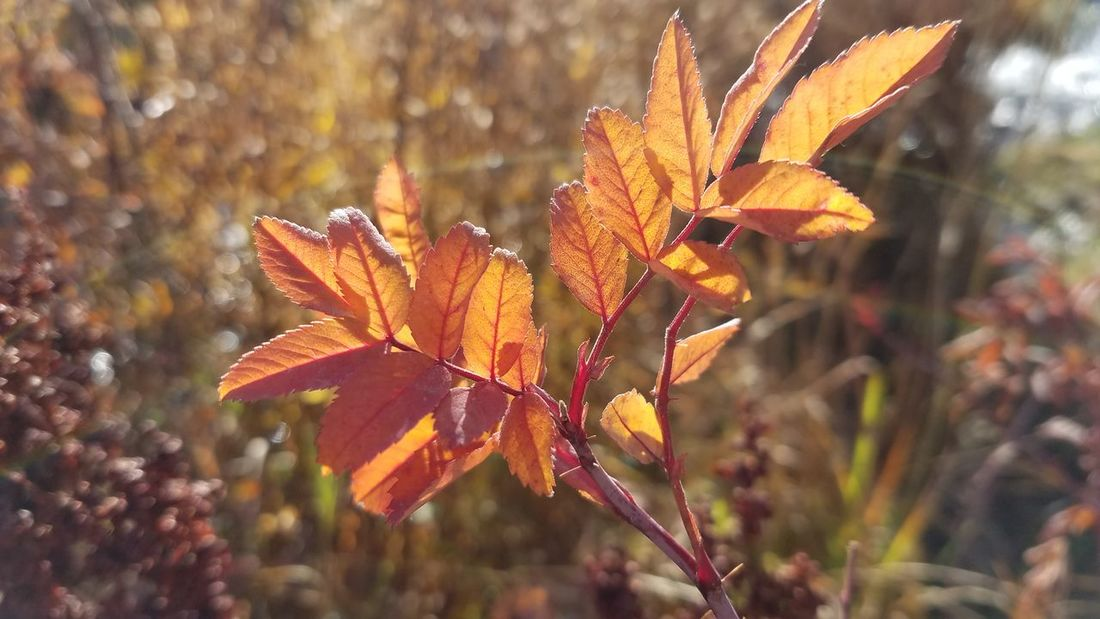 Autumn Leaf Nature Plant No People Outdoors Beauty In Nature Close-up Beauty Freshness Day Photography Falltime Vivid Colours  EyeEm Nature Lover Fall Season Fall Beauty Nature Beauty In Nature Sunlight Enjoy