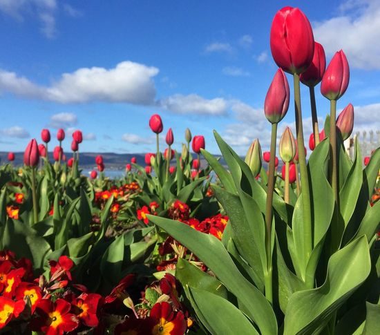 Tulips in the sun Tulips Red Tulips Tulips In Scotland Scotland Flowers Blue Sky And Clouds Clouds And Sky Flower Growth Beauty In Nature Nature Plant Fragility Petal Freshness Red Sky Day Blooming No People Flower Head Outdoors Field Green Color Cloud - Sky Leaf Close-up n
