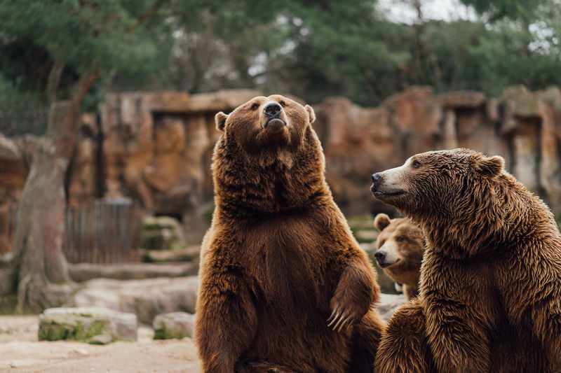 Two brown bears play in the zoo Animal Themes Bear Close-up Day Domestic Animals Focus On Foreground Mammal Nature No People Outdoors
