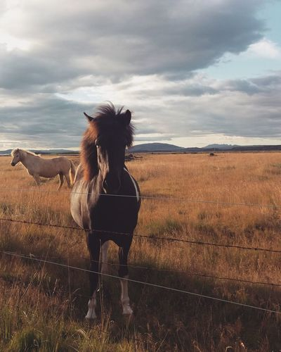 Domestic Animals Horse Sky Animal Themes Livestock Nature Adults Only One Animal Outdoors Cloud - Sky Working Animal Beauty In Nature Scenics Icelandic Horse Iceland Iceland_collection Icelandic Horses Icelandtrip Icelandicnature Icelandic Nature