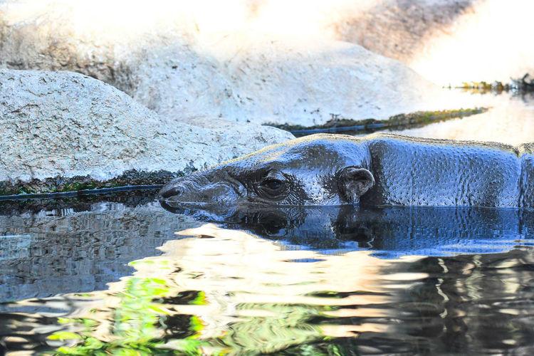 Close-up of hippopotamus in lake