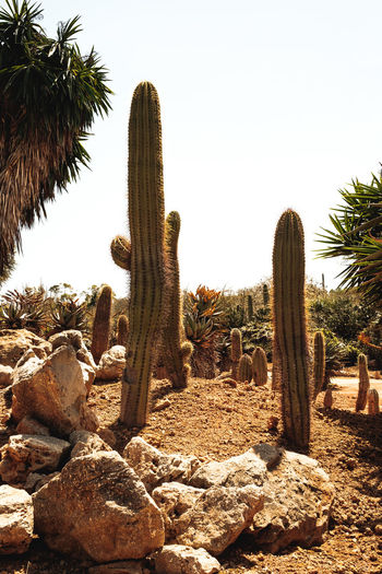 Cactus Plant Land Nature Sky Succulent Plant Growth Tree No People Solid Desert Rock Tranquility Clear Sky Saguaro Cactus Day Field Rock - Object Beauty In Nature Scenics - Nature Outdoors Climate Arid Climate Ecosystem  Close-up