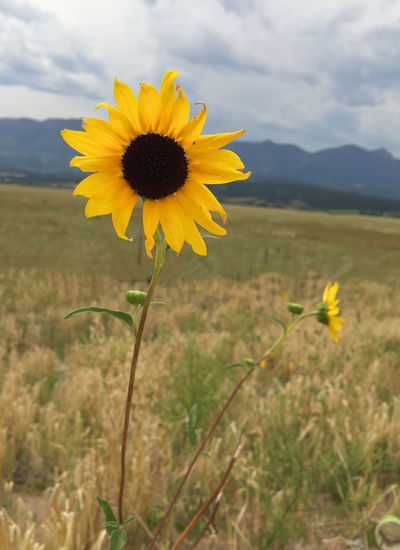 Sunflower in Colorado Flower Collection IPS2016Composition Sunflower Nature_collection Yellow Flower Parks Outdoors Outdoor Photography IPhoneography IPhone Iphonephotography Iphone6 Fields Field Sunflowers