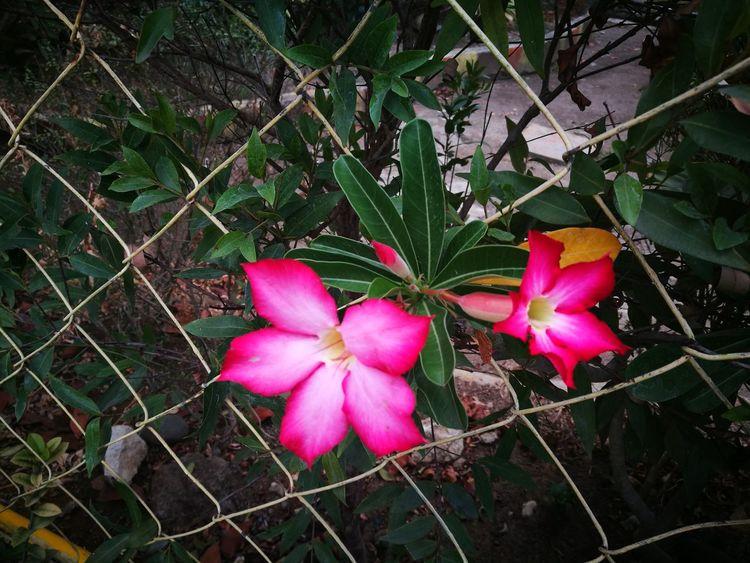 🌸 Flower Head Flower Periwinkle Pink Color Petal Leaf Close-up Plant Plant Life