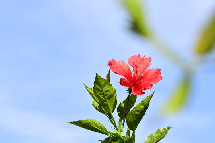 Close-up of red flowering plant against blue sky