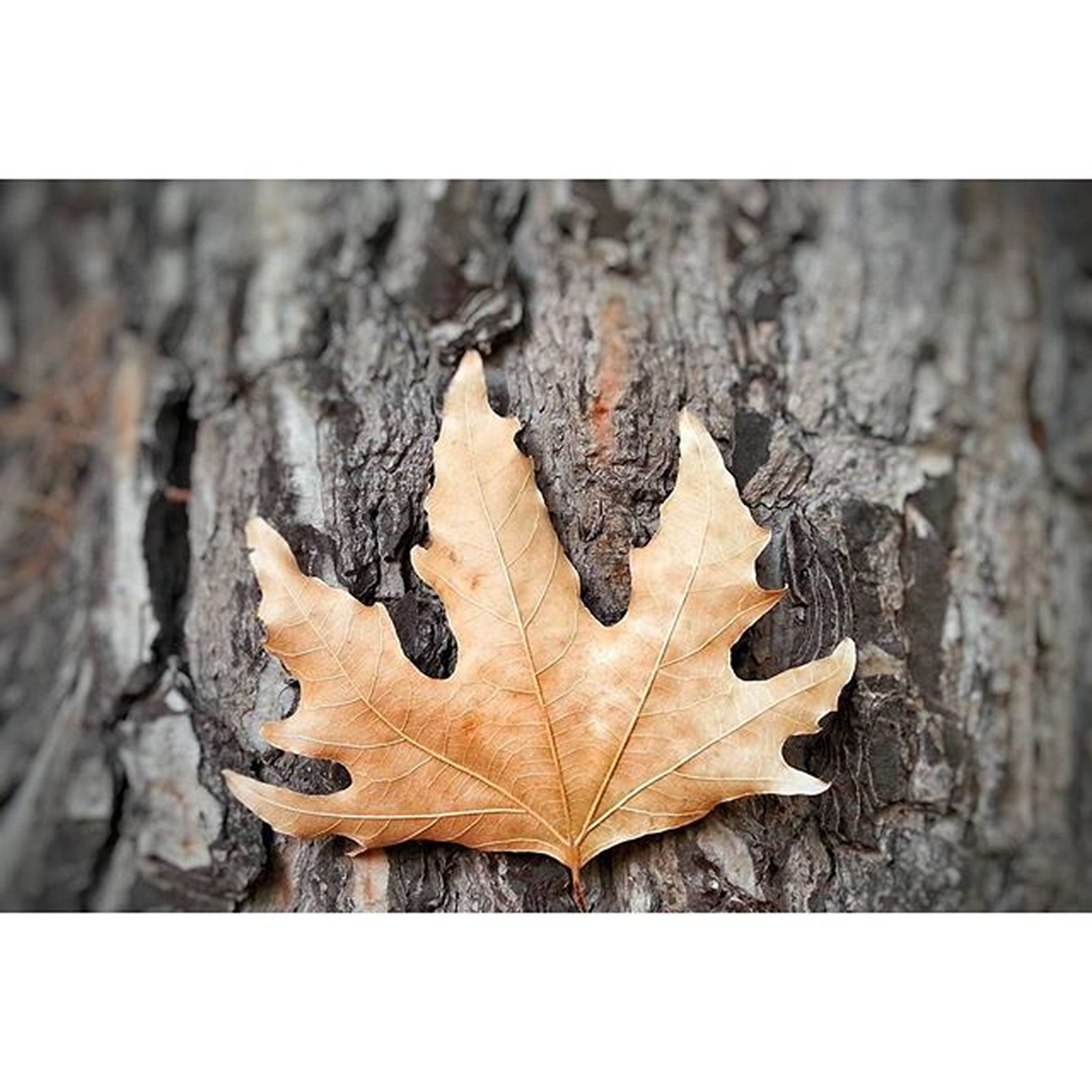 transfer print, auto post production filter, close-up, autumn, dry, leaf, natural pattern, nature, change, textured, pattern, yellow, leaf vein, wood - material, season, outdoors, fragility, maple leaf, natural condition, no people