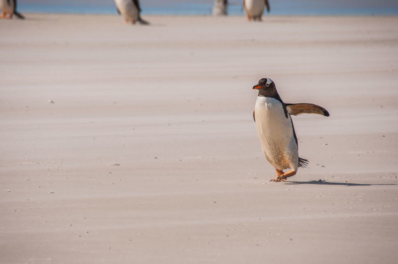 BABY PENGUIN RUNNING ON BEACH
