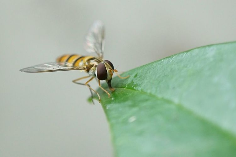 Bee on wet leaf