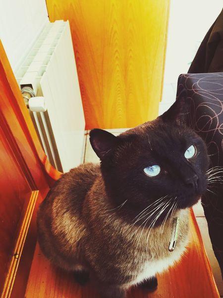 Neko Cat Siames Miki Miniñobonito