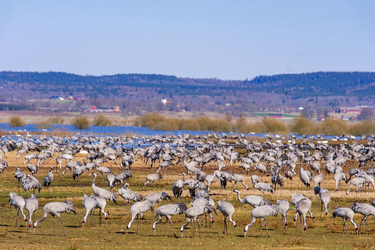 Large flock of cranes on a field by a lake