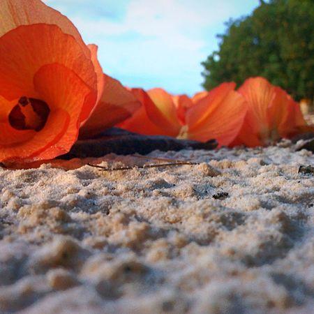Flower Orange Beauty In Nature Orange Color Nature Sand Flower Nature