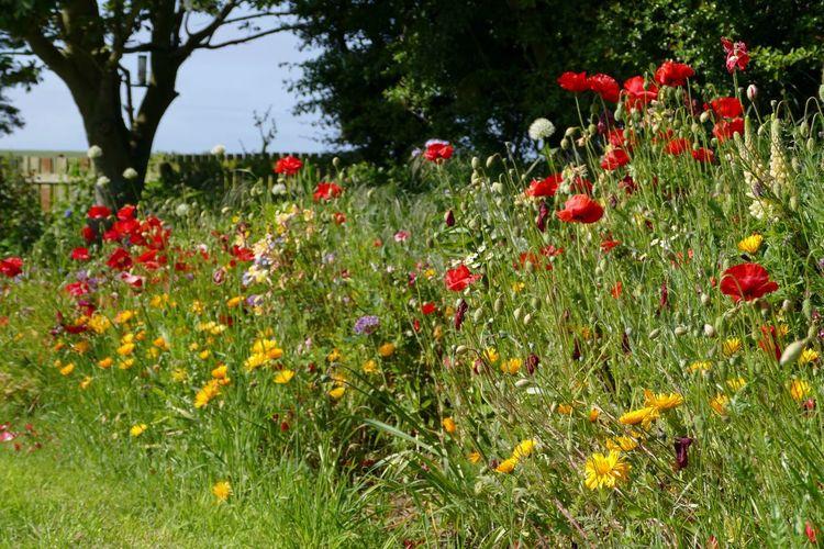 Poppies  Flowers,Plants & Garden Natures Diversities My Garden @my Home LUMIX DMC FZ1000 Flowers, Nature And Beauty Flower Collection My Garden Flowers