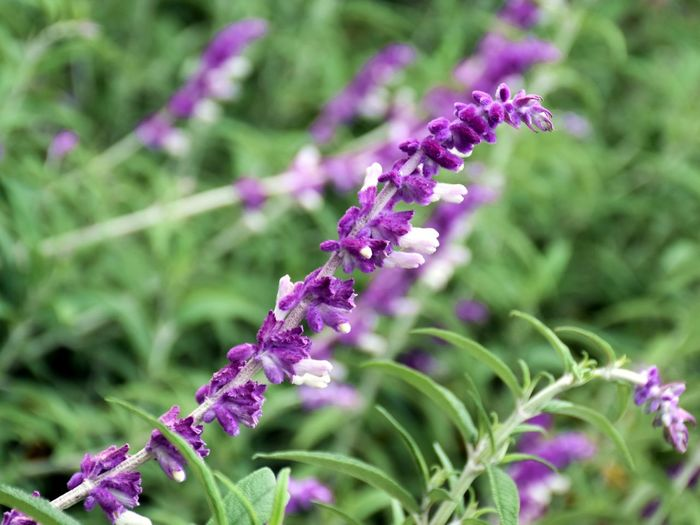 Flower Flowering Plant Plant Purple Fragility Vulnerability  Freshness Beauty In Nature Growth Close-up Petal Nature Selective Focus Day No People Lavender Botany Green Color Plant Part Outdoors Flower Head Springtime Lilac Purple Flower Greenery Garden Garden Photography Relaxing Backgrounds Beauty In Nature